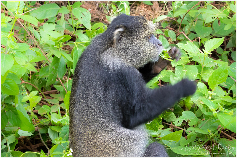 Sykes' monkey stuffing leaves in the mouth
