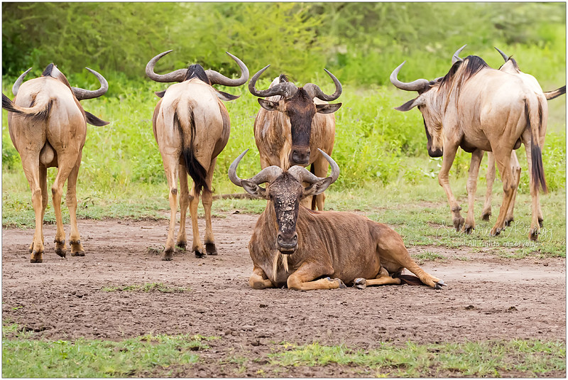 White Bearded Wildebeest