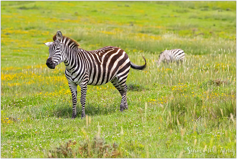 Cute Zebra with lovely coat pattern, one of my favorite animals. Sad thing is that they are hunted for skins and meat.