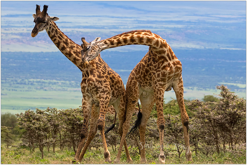 Male giraffes fighting with their necks