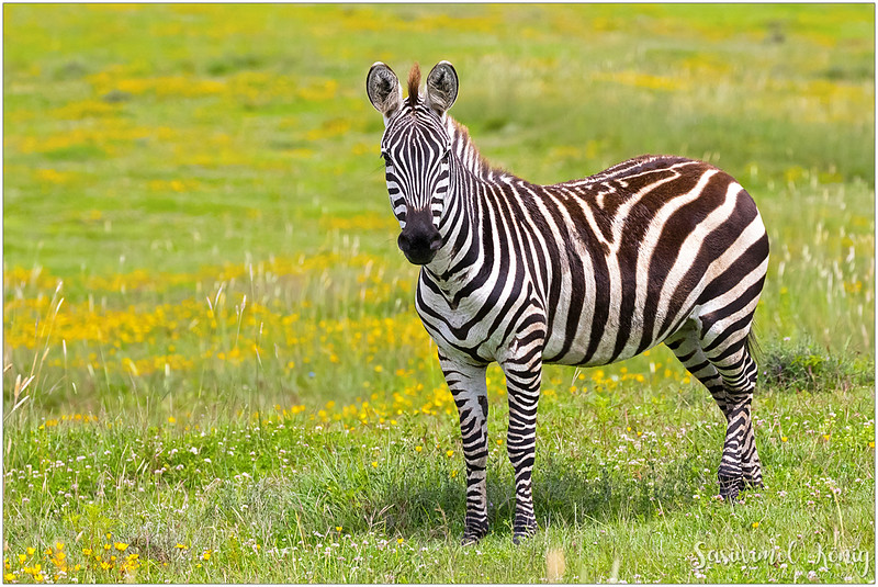 Standing on the yellowish field with the distinctive black and white striped coat could definitely bring it into the limelight.