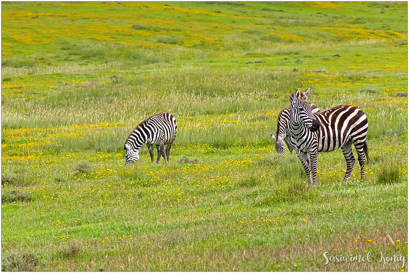 A small harem of Plains zebras