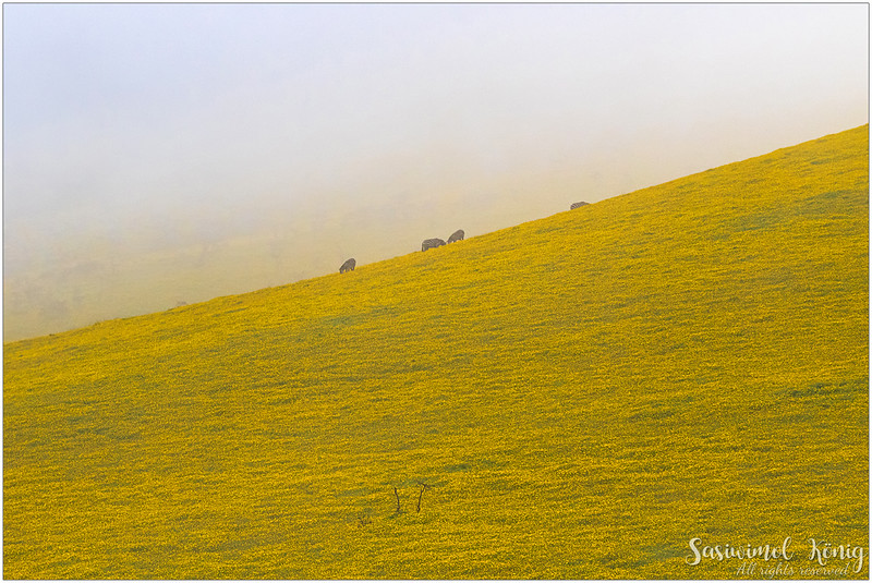 Amazing view of the yellow carpet on T17 road, Ngorongoro Conservation Area
