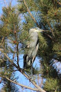 Great Blue Heron Hiding in a Tree