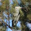 Pine Heron