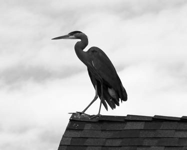 Great Blu Heron on Roof