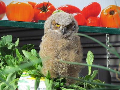 Vegetarian Great Horned Owl Chick