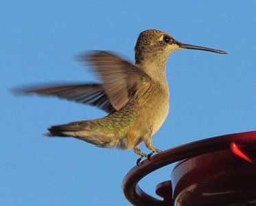 Hummingbird Flutter