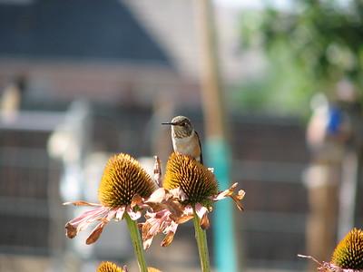 Female Black-chinned Hummingbird on Cone Flower