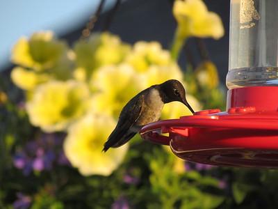 Female Black-Chinned Hummingbird on Feeder