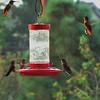 Rufus Hummingbird Swarm