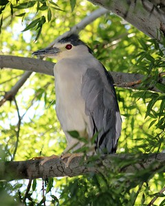 Adult Black Crowned Night Heron
