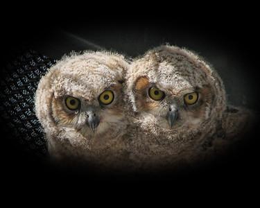 Snuggling Owls