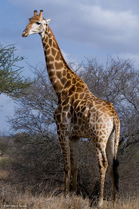 There are several species in Africa that you see a lot of, and the giraffe is one, but I never get tired of watching them. You would think that couldn't walk with a body shaped like that, yet they are incredibly graceful as they move.