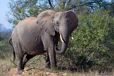 This adult female elephant is just starting to get irritated at our proximity and is turning to warn us away. (Kruger National Park)