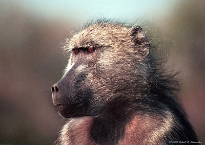 While driving across the Sabi River in Kruger National Park, I came across this baboon sitting on the bridge rail looking out over the water.  She had an air of wisdom about her that I wanted to capture.
