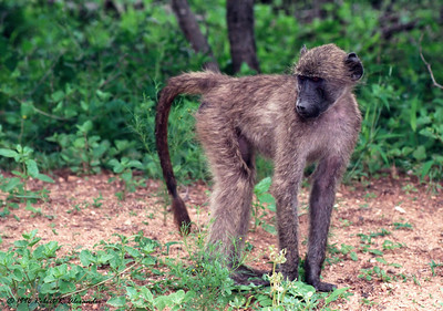 This young baboon in southern Kruger National Park was part of a group running around and playing.  He's looking back at another baboon who is about to jump at him.