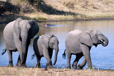 A small family group within a large herd of females and young. (Kruger National Park)