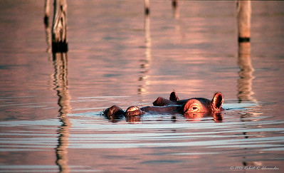 I've never seen sunsets as intense as those on the shores of Lake Kariba in Matusadona National Park.  Their large hippopotamus population were usually just offshore each evening adding both visual and sound effects to that best part of each day.
