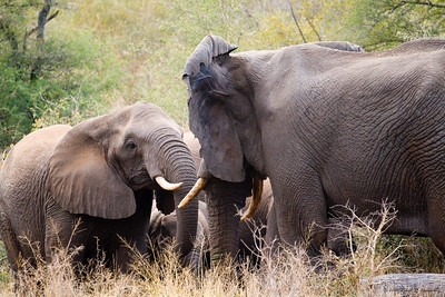A young adult female greets a large matron of the herd. (Kruger National Park)