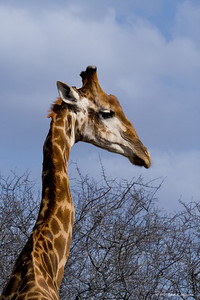 This older male giraffe was browsing on a thorn bush near the road. (Kruger National Park)