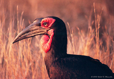 This ground hornbill was searching for food along the roadside at dusk in Kruger National Park.  They may not be pretty in a traditional sense, but I love the way the red color from the setting sun plays on his red wattle.