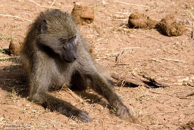 A baboon pulls up a piece of grass to eat. (Kruger National Park)