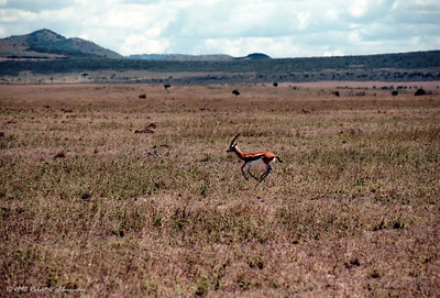 This Thompson's Gazelle, alone on the Sarengetti, was startled by our vehicle and ran alongside us for several seconds.  At the time I thought this must be a difficult place to be so small and alone in such a vast landscape, and the photo reminds me of that feeling.