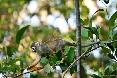 A young squirrel money running along a narrow vine in the trees above the Tahuayo River in Peru.