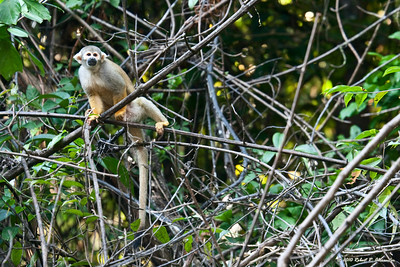 This young squirrel monkey was part of a troop we watched from our boat along the Tahuayo River in Peru.