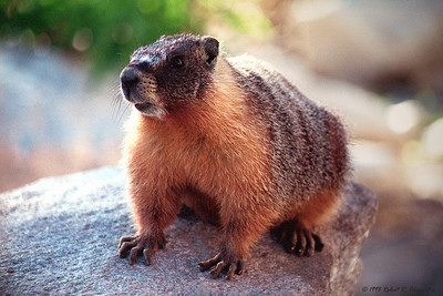 This marmot apparently made a living by stealing food from backpackers in the Tuolumne Meadows area of Yosemite National Park. If he's had his way, our dinner would have been his.