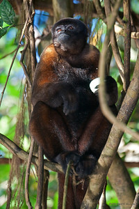 This woolly monkey had been returned to the wild after having been captured and sold in a market in Iquitos, Peru. Although living free, she lived alone and was dependent on food from humans.