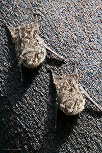 Long-nosed bats resting on a tree in the Tahuayo River in Peru.