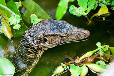 A young Malayan water monitor lizard resting in the shallows amongst the hyacinths in the Sungei Buloh Wetland Reserve in Singapore.