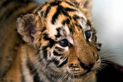 This Amur (Siberian) tiger cub and his litter were abandoned by their mother and were being hand-raised