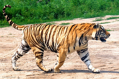 An Amur (Siberian) tiger on a farm near Harbin, China heading for dinner.