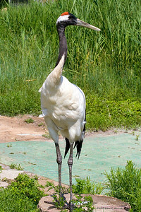 Adult red-crowned crane in a large wetland reserve in northeast China. (Zhalong National Nature Reserve)