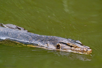 A large Malayan water monitor swimming in one of the freshwater ponds at the Sungei Buloh Wetland Reserve.