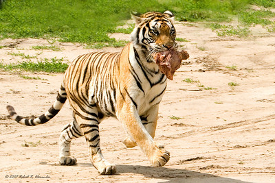 This Amur (Siberian) tiger at a farm near Harbin, China has just scored a meal from the food truck.