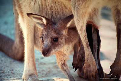 This joey at a wildlife sanctuary in Queensland look about ready to give up the pouch.