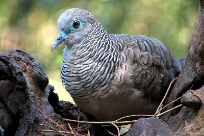 I photographed this peaceful dove in a wildlife sanctuary near Melbourne.