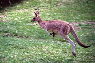 This is little to compare to the sight of a kangaroo moving along at full speed.  This one came down a hill and past me in a Queensland wildlife sanctuary.