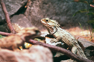It would be rare indeed to see a tuatara in the wild as they are now mostly found on New Zealand's offshore islands.  I took this photo in the Wellington zoo.