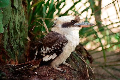 One of the kookaburras' favorite foods are snakes, which they kill by grasping them behind the heads, then dropping from high in the air.  This kookaburra, from the Sunshine Coast of Queensland, had been injured and was being rehabilitated.