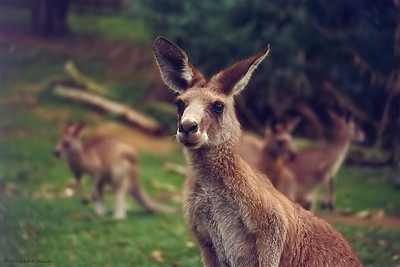 This kangaroo was in a wildlife sanctuary in Queensland, Australia.