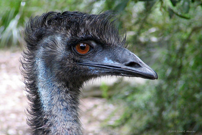 The flightless emu is Australia's largest native bird and is second largest in the world only the the Ostrich. This one lives in a nature sanctuary near Melbourne.