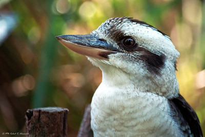 One of the kookaburras' favorite foods are snakes, which they kill by grasping them behind the heads, then dropping from high in the air.  I saw this kookaburra on the Sunshine Coast of Queensland. He had been injured and was being rehabilitated for release back into the wild.