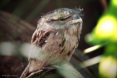A master of camouflage, this tawny frogmouth sleeps fairly low in trees during the day, where you could walk right by without ever knowing it.  Although it looks a bit like an owl, it is not closely related.  I saw this one in Queensland,where he was resident, having been injured and unable to be released again.