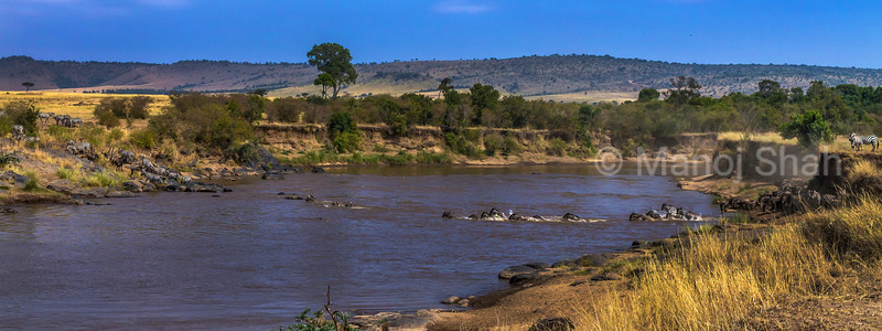 Wildbeest and Ztbras crossing  the ara River in Masai Mara.