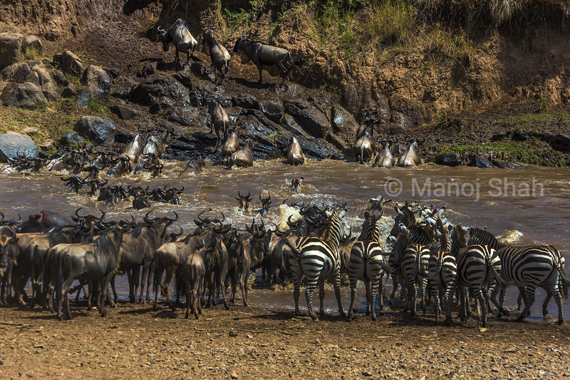 Wildebeest and Zebras crossing Mara River and are heading towards Serengeti.